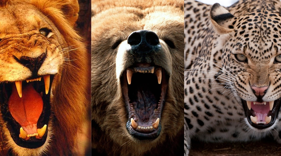 Lion and Bear and Leopard ohmy…